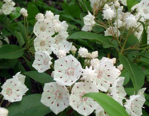 Blooming Mountain Laurel, Appalachian Trail