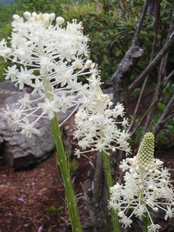 The Appalachian Trail went up to an exposed, rocky ridge where rhododendron and mountain laurel were in full bloom. Plants with sparkler-like white flowers ending in cone shapes.