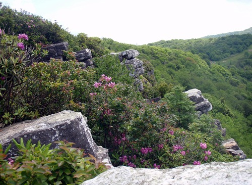 Rhododendron in bloom, Blackstack Cliffs, Appalachian Trail