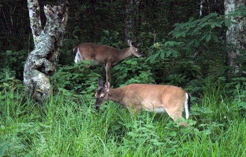 Deer grazing in front of Appalachian Trail Shelter