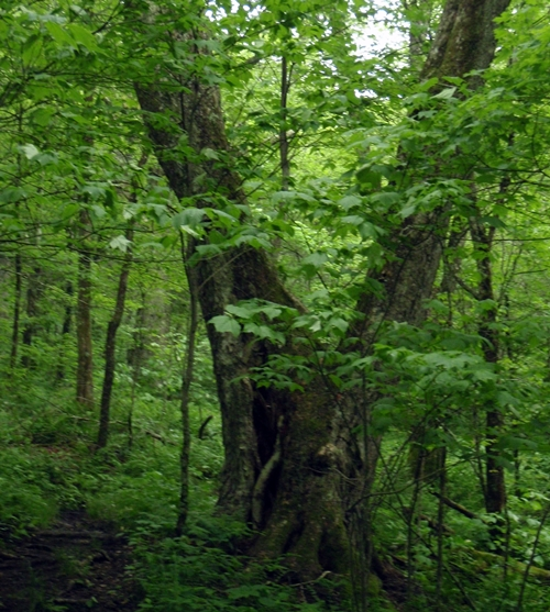 Old-growth forest of ash trees on the Appalachian Trail