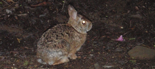 A rabbit sitting on the Appalachian Trail in Great Smoky Mountains National Park