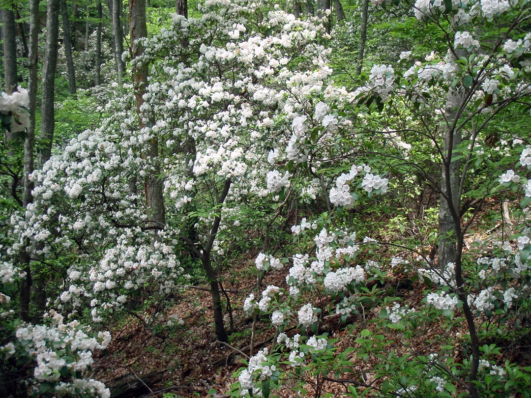 Spring Mountain, Appalachian Trail. Where the coves had favorable orientations to the sun, they bloomed white with mountain laurel.