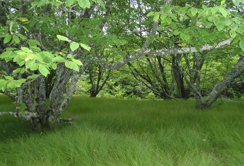 appalachian trail wavy grass