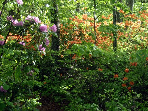 Rhododendron and flame azaleas in full bloom on the Appalachian Trail.