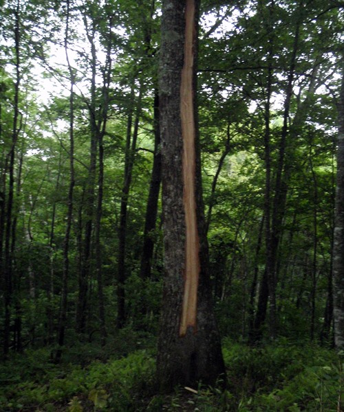 Appalachian Trail, tree struck by lightening near Cable Gap Shelter
