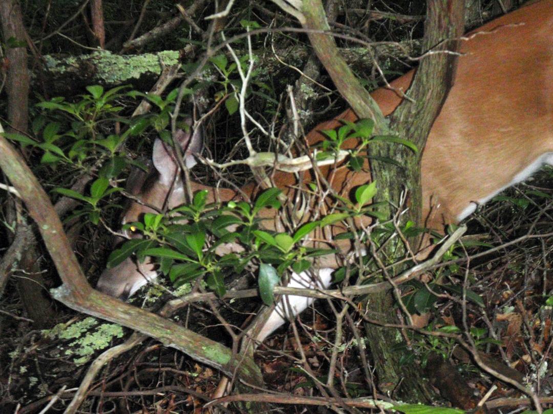 Deer on Appalachian Trail, Great Smoky Mountains National Park, North Carolina.