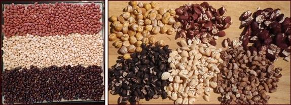 Dehydrating Beans