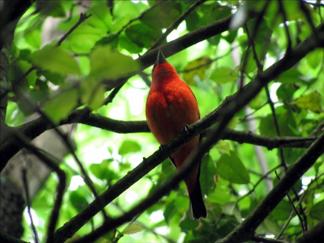Scarlet Tanager, Appalachian Trail Georgia.